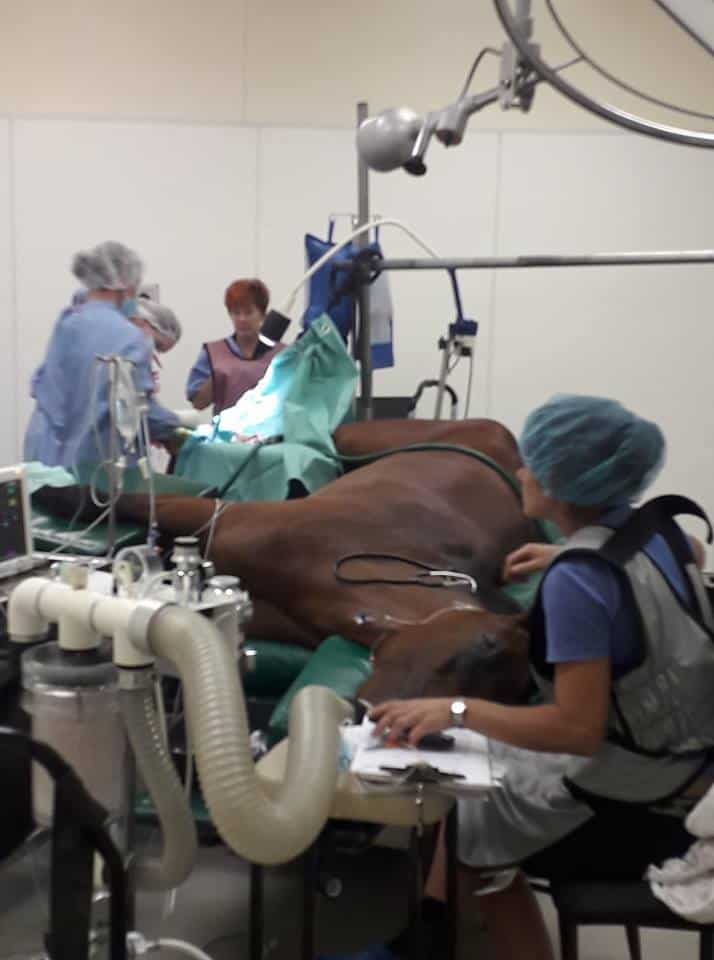 Horse in surgery